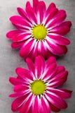 Розовая хризантема на желтых предпосылках стоковая фотография