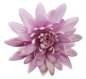 Розовая хризантема цветка Цветок сада Предпосылка изолированная белизной с путем клиппирования closeup Отсутствие теней Стоковые Фотографии RF