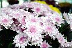 Розовая хризантема Стоковое фото RF