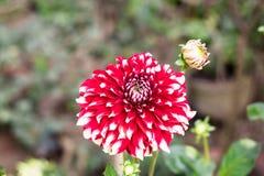 Розовое белое columbaria Scabiosa цветка pincushion связало с видом солнцецвета, маргаритки, хризантемы, и zinnia Оно также стоковые изображения