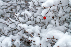 Розовое бедро в зиме Стоковое Изображение