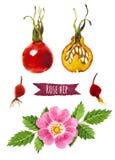 Розовое бедро, иллюстрация акварели, включенный путь клиппирования Стоковые Изображения RF