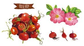 Розовое бедро, иллюстрация акварели, включенный путь клиппирования Стоковая Фотография RF