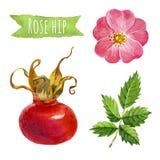 Розовое бедро, иллюстрация акварели, включенный путь клиппирования Стоковое фото RF