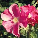 Розовое бедро цветет в парке Gorky - ретро фильтре Стоковые Изображения RF