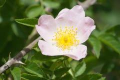 Розовое бедро Стоковые Фото