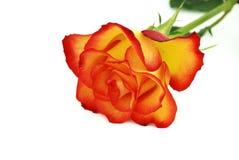 розовое Валентайн Стоковые Фото