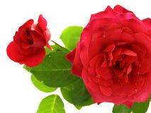 розовое Валентайн Стоковое Фото