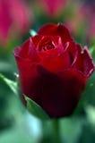 розовое Валентайн s Стоковая Фотография