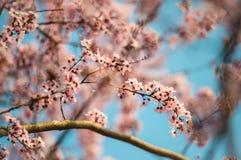 Розовое вишневое дерево зацветая на голубом небе Стоковая Фотография RF