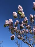 Розовое дерево Австралия paulownia Стоковая Фотография RF