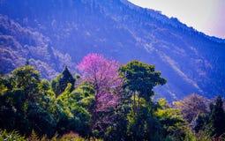 Розовое дерево на горе Стоковое Изображение