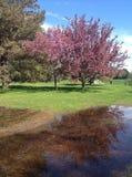 Розовое дерево отражая в воде Стоковая Фотография RF