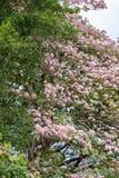 Розовое дерево трубы (heterophylla Tabebuia) в саде, Таиланде Стоковые Фотографии RF