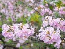 Розовое дерево трубы (heterophylla Tabebuia) в саде, Таиланде Стоковая Фотография RF