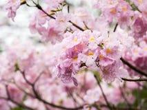 Розовое дерево трубы (heterophylla Tabebuia) в саде, Таиланде Стоковые Фото