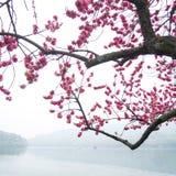 Розовое дерево цветка цветения персика вдоль озера Стоковые Фото