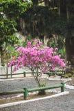Розовое зацветенное дерево в парке стоковые изображения rf