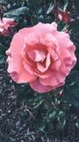 Розовое изображение на переднем плане стоковые фотографии rf