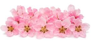 розовое изолированное цветение персика Стоковые Изображения