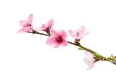 розовое изолированное цветение персика Стоковая Фотография RF