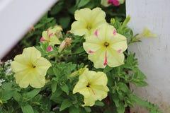Розовое и желтое цветене лета Стоковое Изображение RF