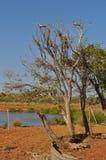 Розовое и серое Galahs в дереве в пустыне с оазисом воды Стоковые Фото