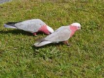 Розовое и серое Galahs на зеленой траве Стоковое Фото