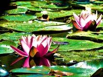 2 розовое и цветения лилии белой воды на озере Стоковое Фото