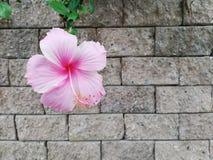 Розовое китайское sinensis Роза розы или гибискуса на backgroud стены стоковое изображение rf