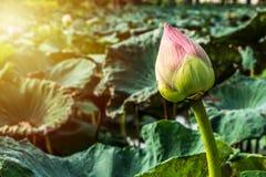 Розовое нагнетание Roseum бутона лотоса Стоковое Изображение