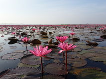 розовое озеро лотоса Стоковые Фотографии RF