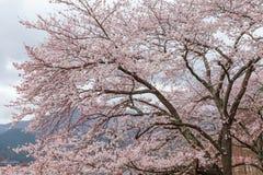 Розовое озеро Kawaguchi дерева вишневого цвета весной, Япония Стоковая Фотография