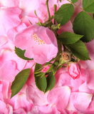 Розовое одичалое подняло на фоне лепестков Стоковые Изображения