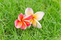 Розовое падение цветка frangipani на траву Стоковое Фото