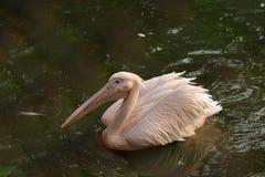 Розовое подпертое плавание пеликана на воде стоковая фотография rf