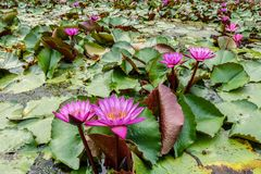 Розовое поле лотоса в Banglen, Nokornpatom, Таиланде Стоковые Фотографии RF