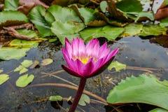 Розовое поле лотоса в Banglen, Nokornpatom, Таиланде Стоковые Изображения