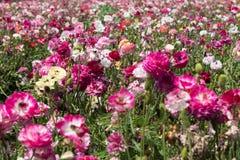Розовое поле стоковое изображение
