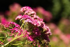 Розовое поле flowers-5 стоковые изображения rf