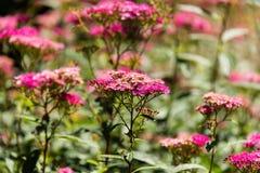 Розовое поле flowers-7 стоковые фотографии rf
