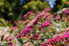 Розовое поле flowers-2 стоковое изображение