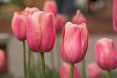 Розовое поле тюльпана в Мичигане Стоковые Фотографии RF