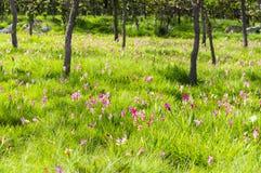 Розовое поле тюльпана Сиама в лесе Стоковая Фотография