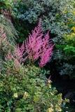 Розовое растущее цветков Astilbe в смешанной границе Стоковое фото RF