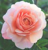 розовое романтичное подняло Стоковая Фотография