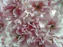 Розовое романтичное подняло Стоковые Изображения RF