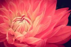 Розовое свежее фото макроса цветка георгина Стоковая Фотография