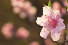 Розовое солнце цветка персика весной Стоковое Фото