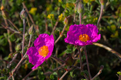 Розовое Утес-Роза Стоковые Фото